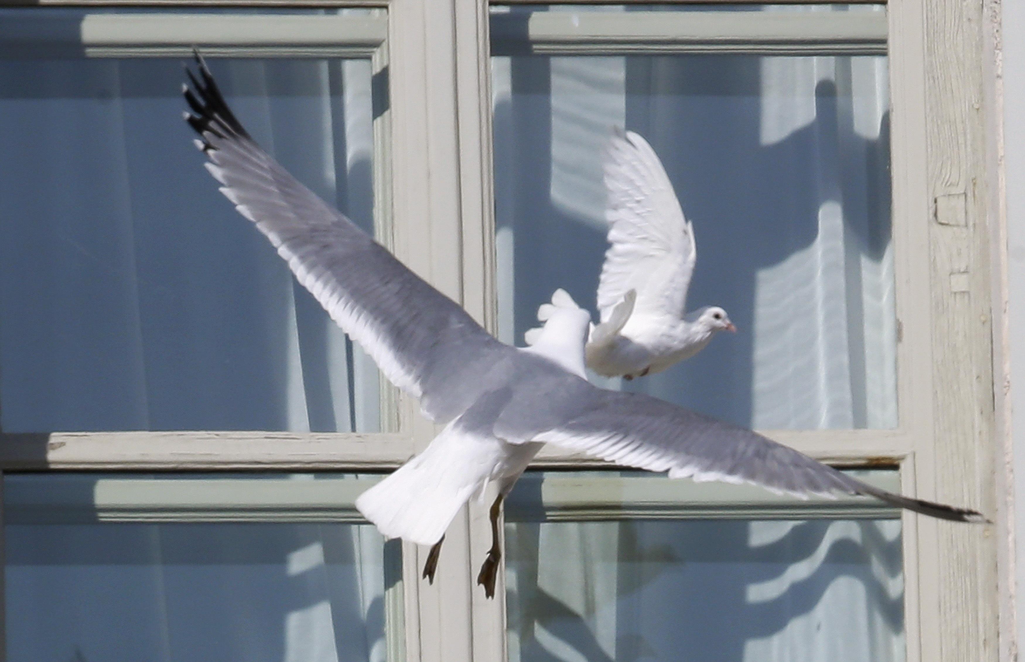 К чему снится голубь, залетевший в окно?